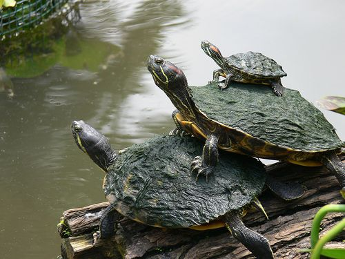Spotted turtles just like these this summer in the upper pond.