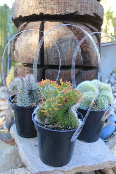 best 25 succulents for sale ideas on pinterest succulents how to grow cactus and propagate. Black Bedroom Furniture Sets. Home Design Ideas