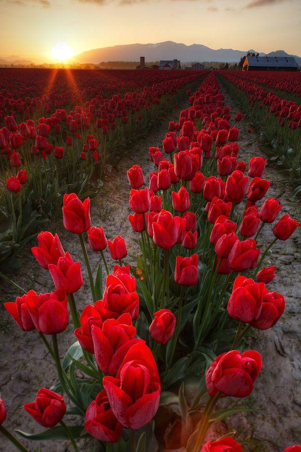 Rows Of Red Tulips At Sunrise Skagit Valley Mount Vernon Washington