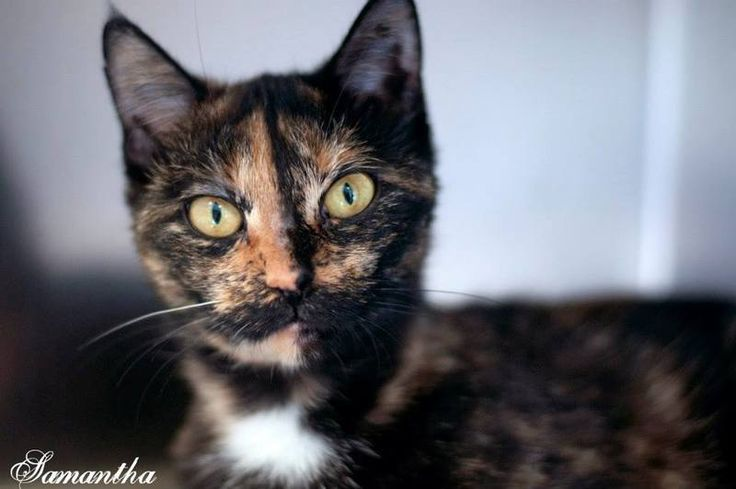 Adopt Samantha On With Images Adoption Pets Tortoise Shell Cat