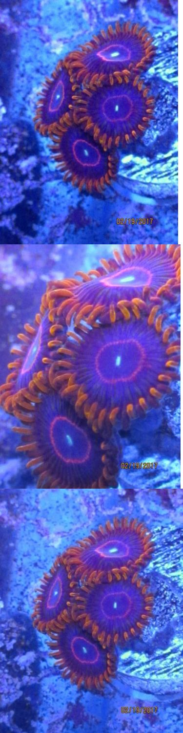 Coral and Live Rock 177797: Live Coral Frag Red Hornet Zoas - Wysiwyg - Polyps - Coral Cartel BUY IT NOW ONLY: $99.0