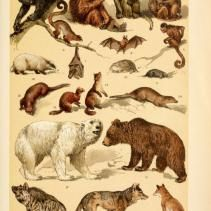 Free vintage illustrations of Wild Animals: Mammals