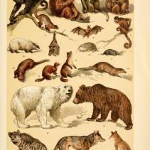 Free vintage illustrations of Wild Animals: Mammals