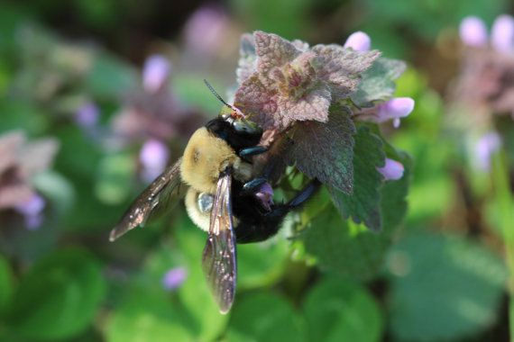Fine Art Nature Photography . Instant Digital Download jpg file . Mauve Lavender Green . Macro Bee Photography