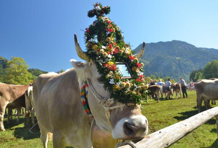 Viehscheid im Allgäu: Almabtrieb in Bad Hindelang