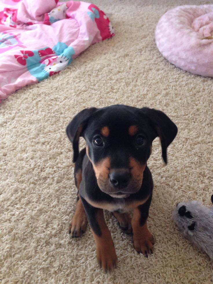 Our baby girl Boo.. Rottweiler lab mix