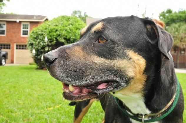 Gable Scout S Honor Rescue Houston Texas Adopt Or Foster 4