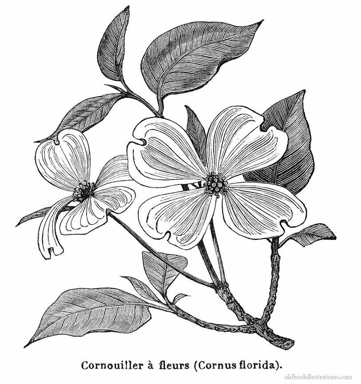 Dogwood Flower Line Drawing : Best images about dogwood on pinterest tattoo