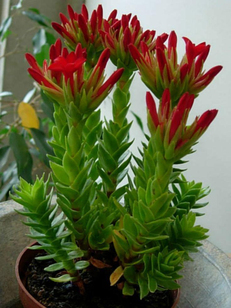 Crassula coccinea – Red Crassula - See more at: http://worldofsucculents.com/crassula-coccinea-red-crassula