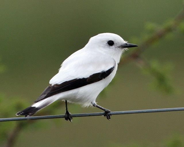 White Monjita; tyrant flycatcher family; Brazil, Paraguay, Bolivia, Uruguay