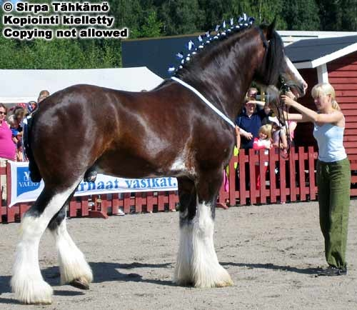 Clydesdale stallion Hillside Lord Lyon. Clydesdale was created in Scotland in 18th century when a bigger and stronger draft horse was needed. Bay with sabino markings is a very common color, also grays and blacks occur.