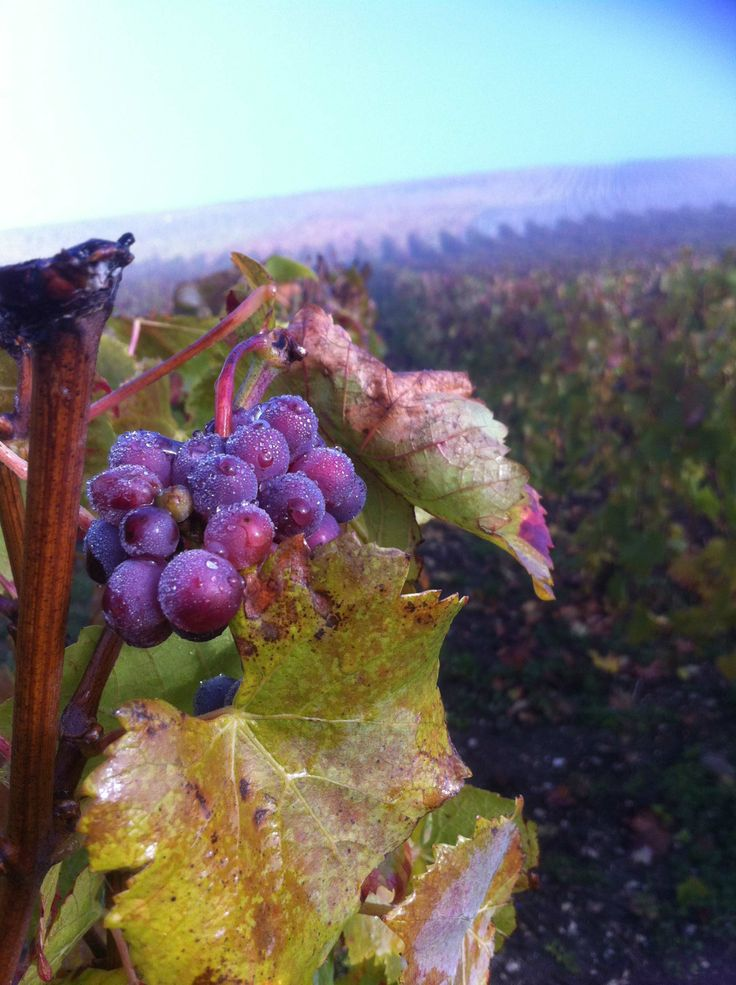 Dew on the grapes