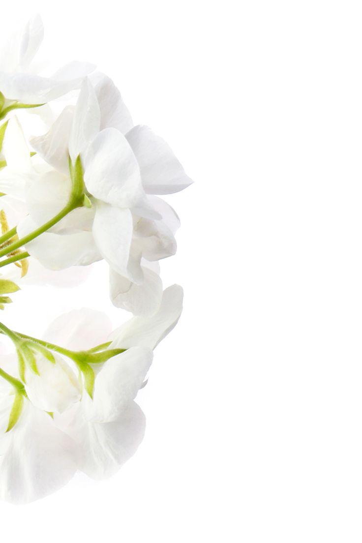 white geranium | STILL (mary jo hoffman)