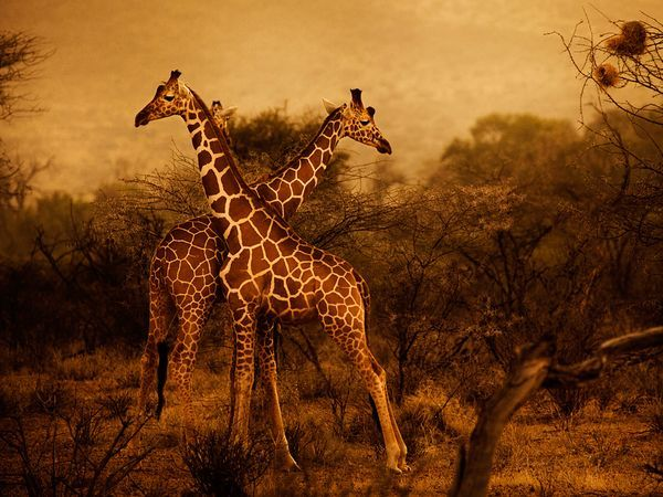 Photograph by Diego Arroyo  Giraffes are pictured at dawn in Kenya's Samburu National Reserve.