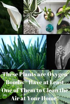 These Plants Are Oxygen Bombs – Have At Least One Of Them To Clean The Air At Your Home! Read more at: http://www.alltraditionalherbs.com/these-plants-are-oxygen-bombs-have-at-least-one-of-them-to-clean-the-air-at-your-home/