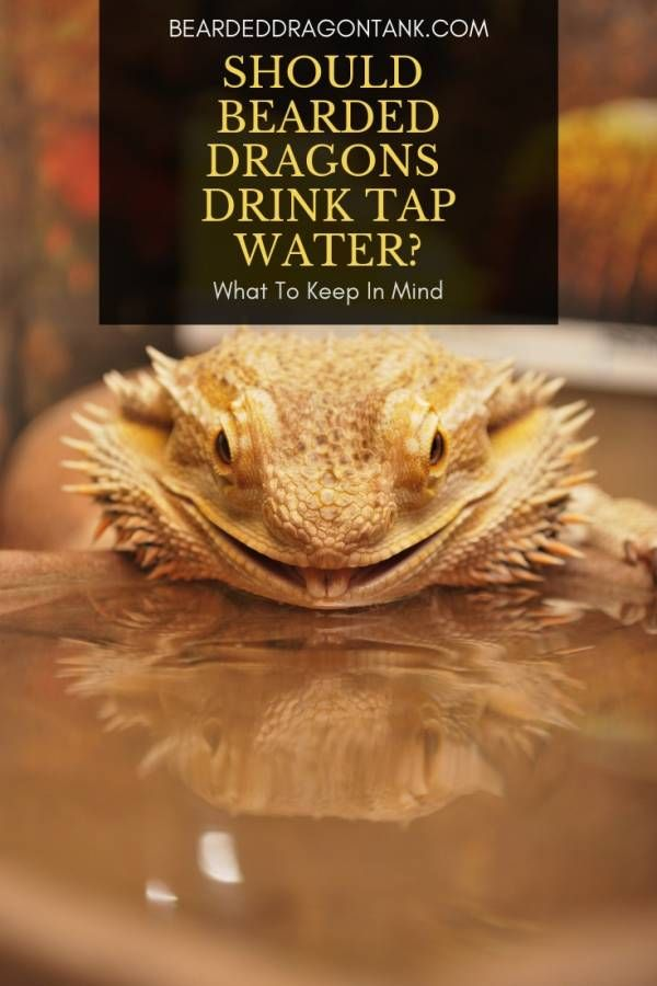 bearded dragon diet water
