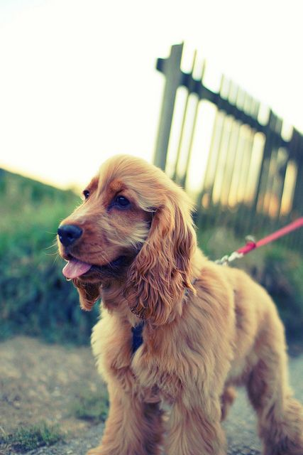 """Click visit site and Check out Best """"English Cocker Spaniel"""" T-shirts. This website is excellent. Tip: You can search """"your name"""" or """"your favorite shirts"""" at search bar on the top."""