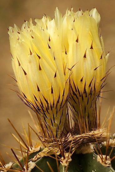 Cactus flower | (10 Beautiful Photos)
