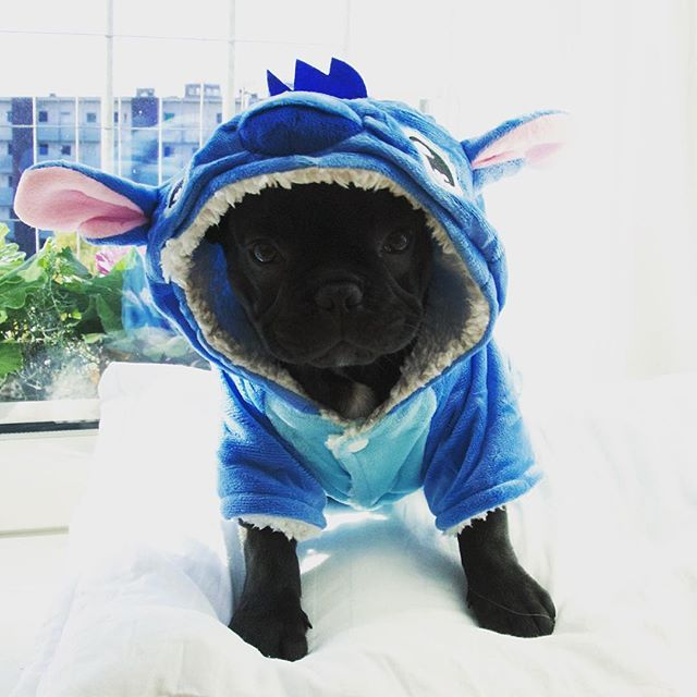 """""""It was suppose to be my Halloween costume but the eBay quality was surprisingly awesome so I just use it as my pajamas now"""".☺️ adorable French Bulldog Puppy"""