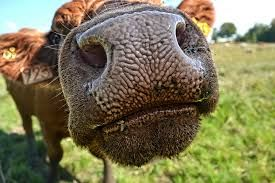 Image result for cow nose