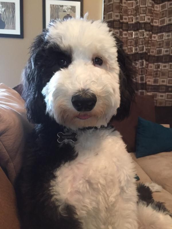 49 Best Sheepadoodle Images On Pinterest Doggies Cattle