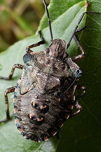 Shieldbug nymph - Pentatoma rufipes