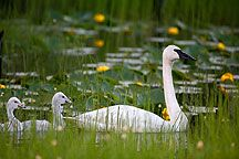 Photos of Trumpeter Swan, Chugach National Forest