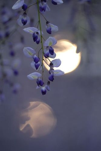 .Dreams Big, The Colors Purple, Moon, Blue Gardens, Blue Flower, Blue Moon, Beautiful Photography, The Moon, Purple Flower