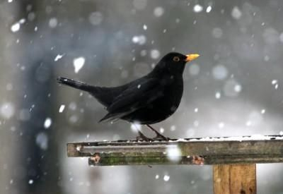 The Blackbird is one of the most familiar of British birds, and is common to woodlands, fields and garden across UK & Ireland. The blackbird is quiet at home both in the town and the country.