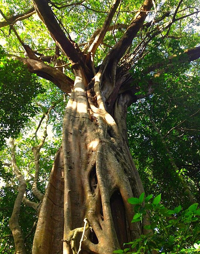 Ancient tree in one of the most ancient rainforest in the world