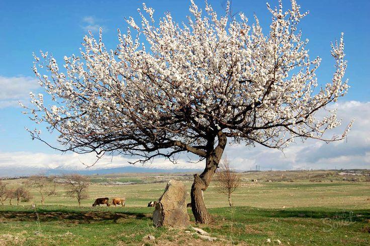 абрикос дерево: 20 тыс изображений найдено в Яндекс.Картинках
