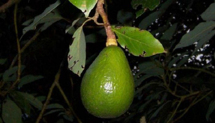 Вырасти дерево авокадо из косточки! Экзотический сад у вас дома