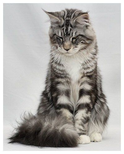 Maine Coon, black silver blotched & white (ns 09 22). Misty Emaldy's Phenix. Photo by #Cattery #Mohegan