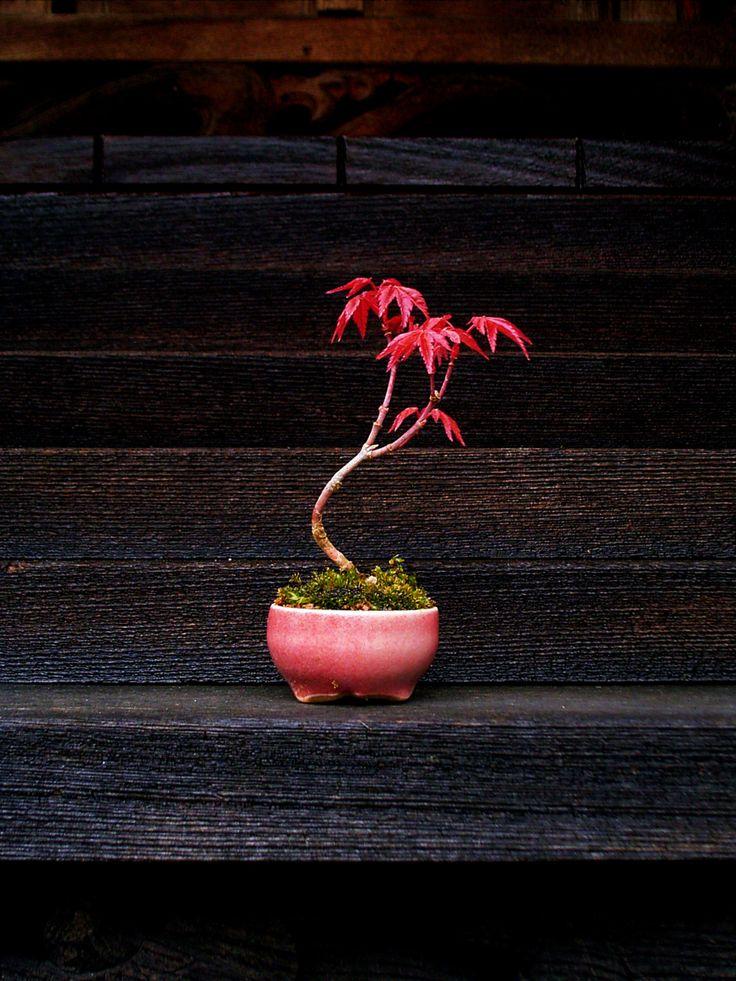 Acer palmatum bonsai as an accent plant