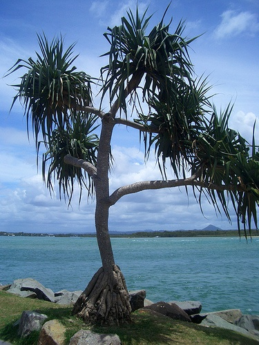 Pandanas tree by mikkelz, via Flickr