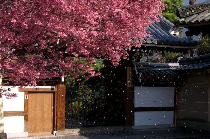 京都 長徳寺 おかめ桜の桜 吹雪の画像。
