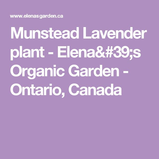 Munstead Lavender plant - Elena's Organic Garden - Ontario, Canada
