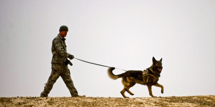 Staff Sgt. Michael Stevens, a military working dog handler for Combined Team Zabul, Afghanistan, runs his military working/patrol explosive detection dog Karo through an explosive device detection training session at Forward Operating Base Lagman, Feb. 2011.