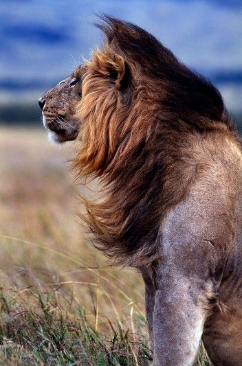 funnywildlife:    Windblown King!!