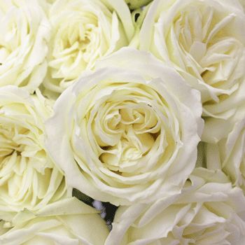 "Send White Roses which represent purity, innocence and youthfulness. White Roses are associated with young love or new beginnings. Give these to your sweetheart to say, ""I'm ready to start anew, I love you."" - FiftyFlowers.com - Polo White Wholesale Roses"