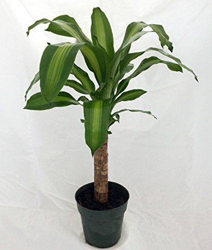 "Creme & Green Corn Plant - Dracaena - 6"" Pot - Easy to Grow House Plant"