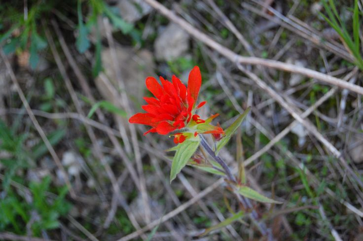 Indian Paintbrush - Castilleja coccinea ON native ©Heidi Eisenhauer NANPS.org ON native