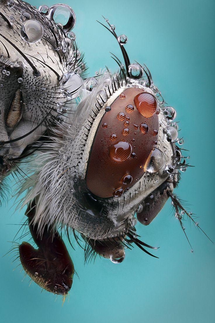 Diandra Galia inspiration Fly #macro #insect #photography ||                                                                                                                                                                                 Plus
