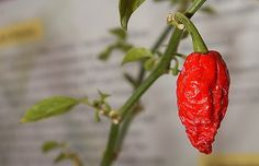 added Bhut Jolokia hot peppers to the home garden for 2012 so that we can make this recipe, among others
