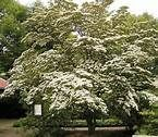 Cornus kousa: flowering dogwood grows in zone 5, little colder if sheltered. Red strawberry like fruits ripen from Aug.-Oct. Edible. Native of Japan/Korea/China.