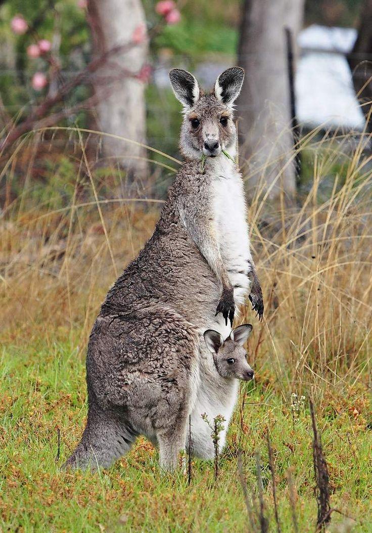 Grey kangaroo and joey