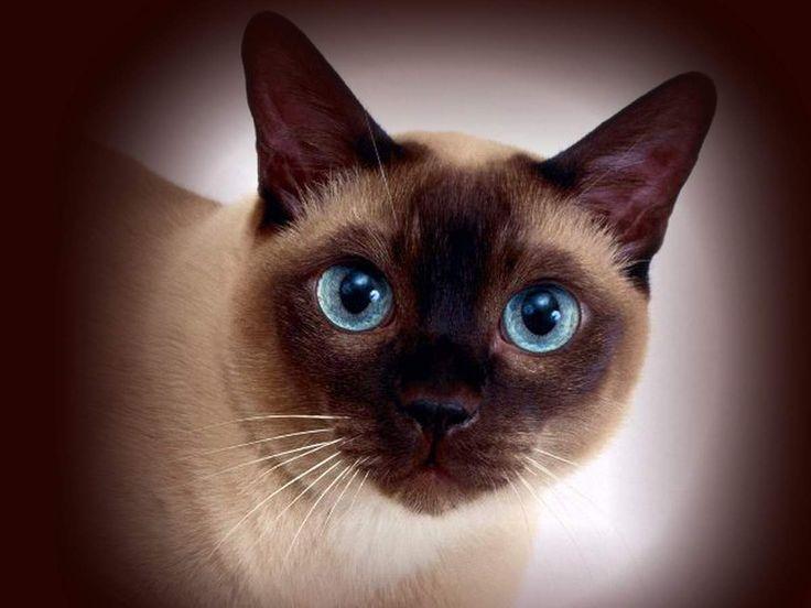 разновидности сиамских кошек с фото: 8 тыс изображений ...