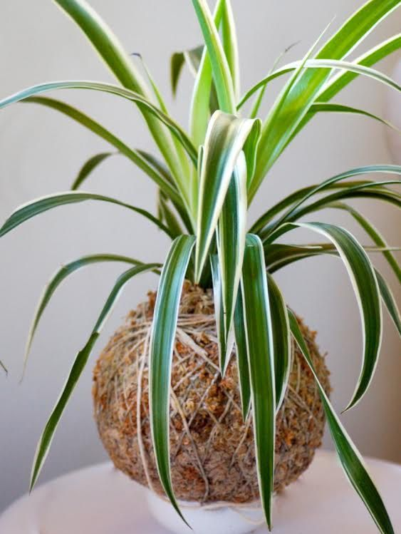 Australia only. Kokedama - spider plant Easy to care for - instructions come with plant Indoor in filtered light Great for cafes and restaurants Not keen to