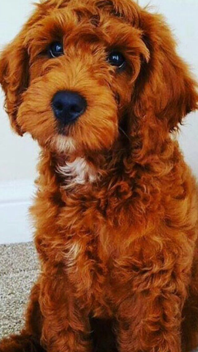 Our beautiful red F1 Cockapoo Darcy is expecting a litter of