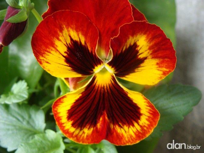 Amor-perfeito-de-jardim | Bagarai